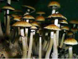"Psilocybe cubensis ""Golden Teacher""_18"