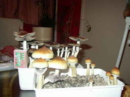 "Psilocybe cubensis ""Golden Teacher""_20"