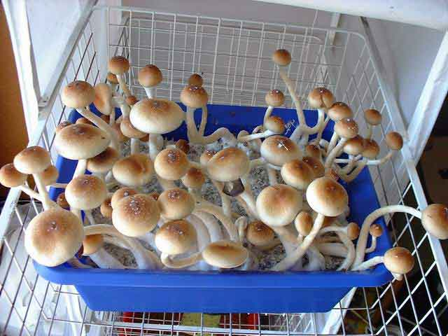 "Psilocybe cubensis ""Golden Teacher""_25"
