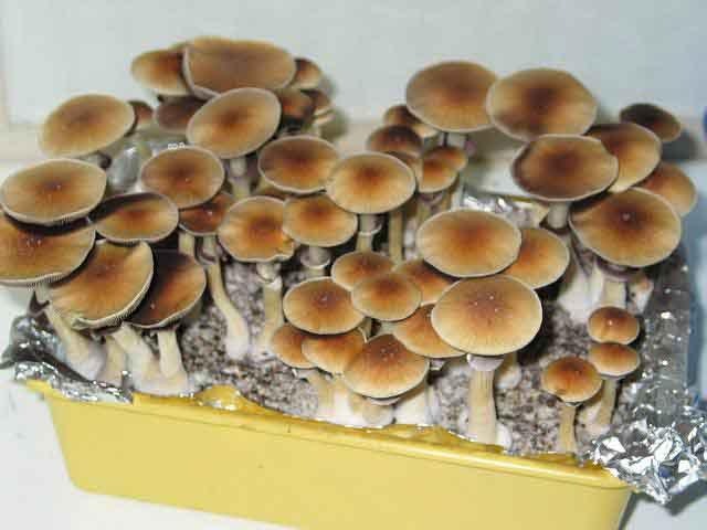 "Psilocybe cubensis ""Golden Teacher""_34"