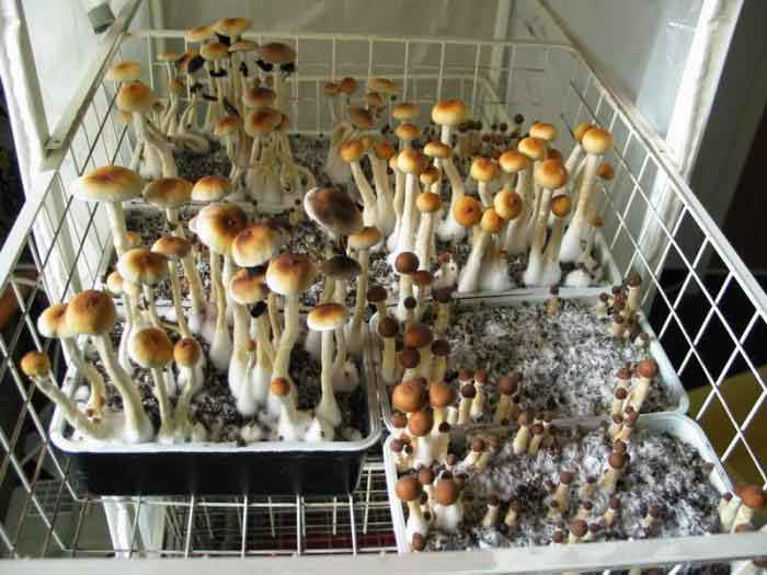 "Psilocybe cubensis ""Golden Teacher""_46"