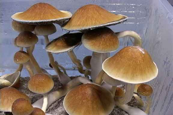 "Psilocybe cubensis ""Mexican""_1"