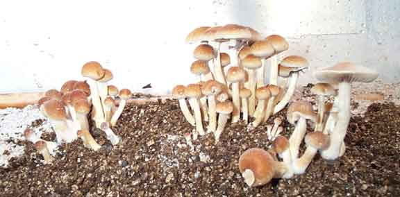 "Psilocybe cubensis ""Mexican""_12"