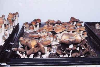 """Psilocybe cubensis """"Thai""""_2"""