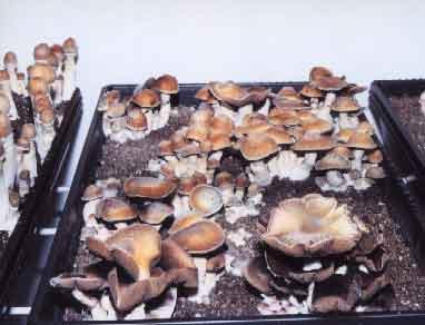 """Psilocybe cubensis """"Thai""""_3"""