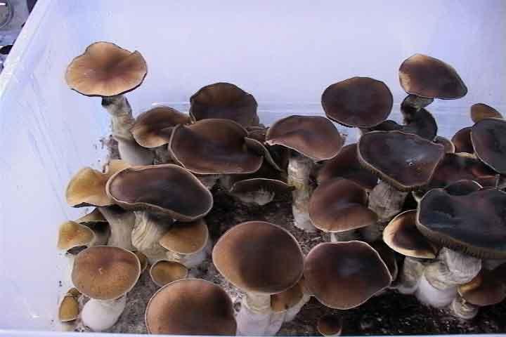 """Psilocybe cubensis """"Thai""""_14"""