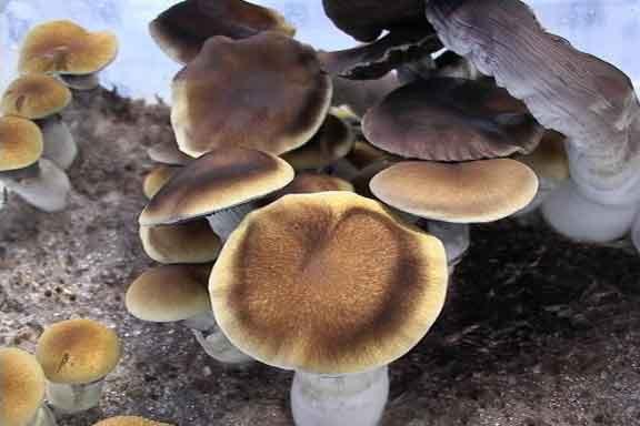 """Psilocybe cubensis """"Thai""""_16"""