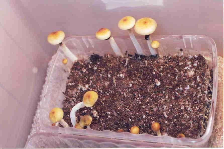 """Psilocybe cubensis """"Thai""""_23"""