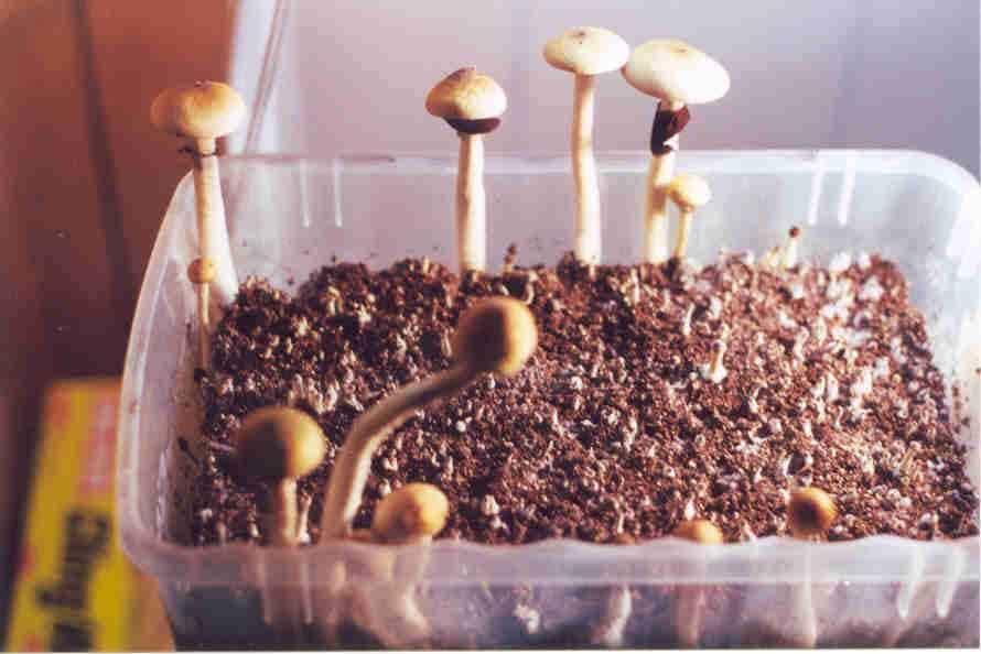 """Psilocybe cubensis """"Thai""""_24"""
