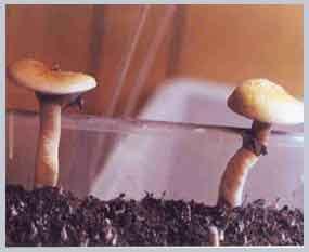 """Psilocybe cubensis """"Thai""""_26"""