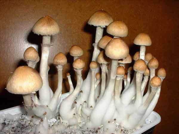"""Psilocybe cubensis """"Thai""""_35"""