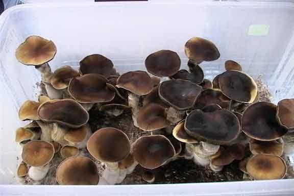 "Psilocybe cubensis ""Thailand Koh Samui""_10"