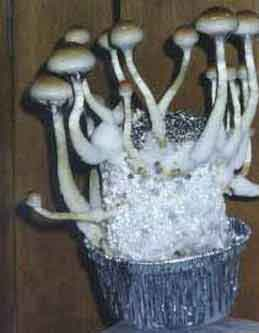 "Psilocybe cubensis ""White Treasure Coast""_0"