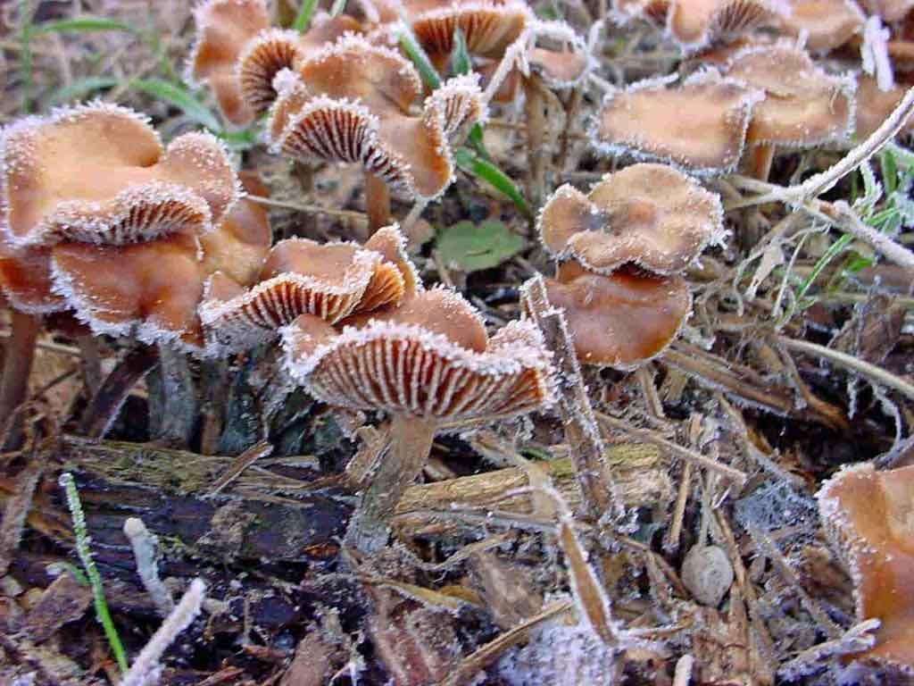 Psilocybe cyanescens_0