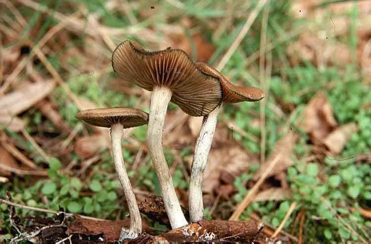 Psilocybe cyanescens_2