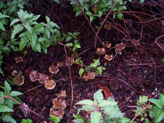 Psilocybe cyanescens_13