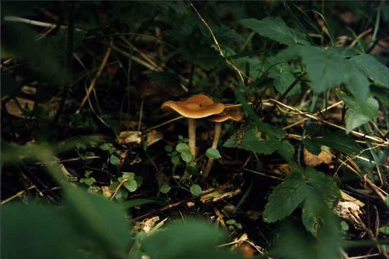Psilocybe cyanescens_15