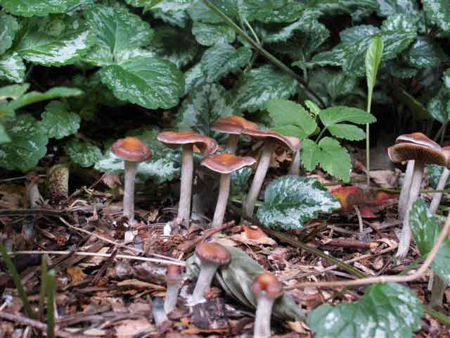 Psilocybe cyanescens_29