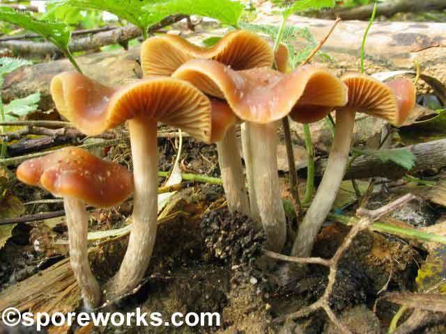 Psilocybe cyanescens_32