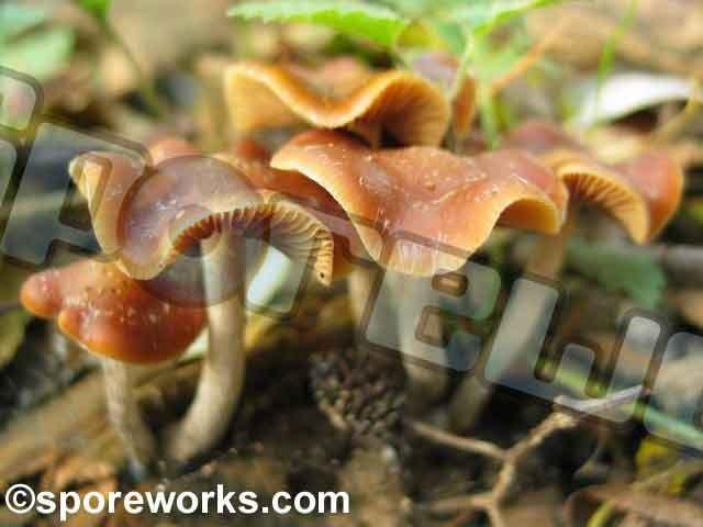 Psilocybe cyanescens_43