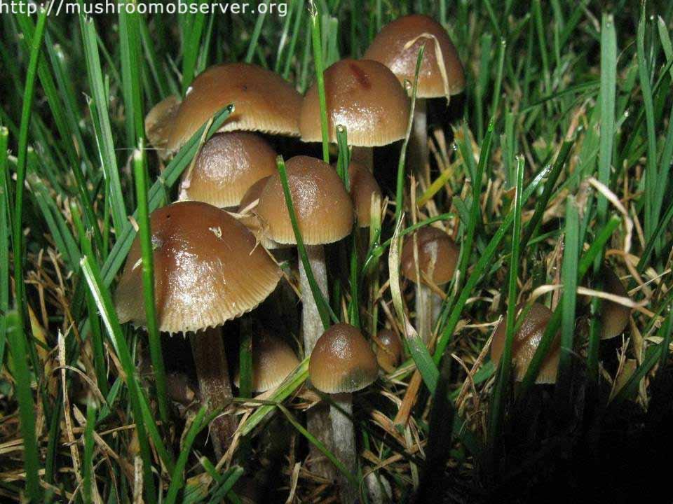 Psilocybe cyanofibrillosa_5