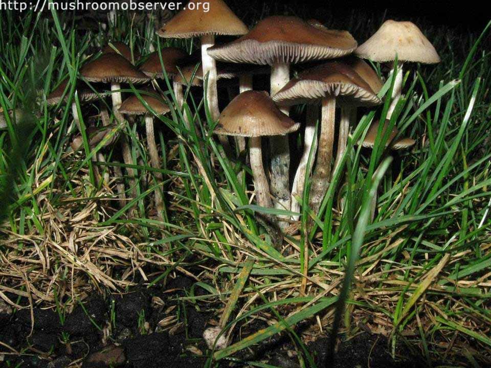 Psilocybe cyanofibrillosa_6