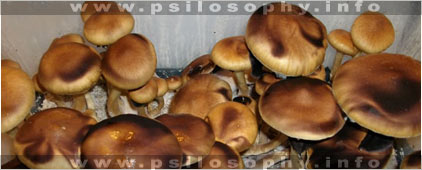SPECIES AND STRAINS OF ENTEOGENIC PSILOCYBE MUSHROOMS